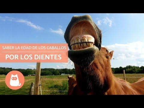 Saber la edad de los caballos por los dientes