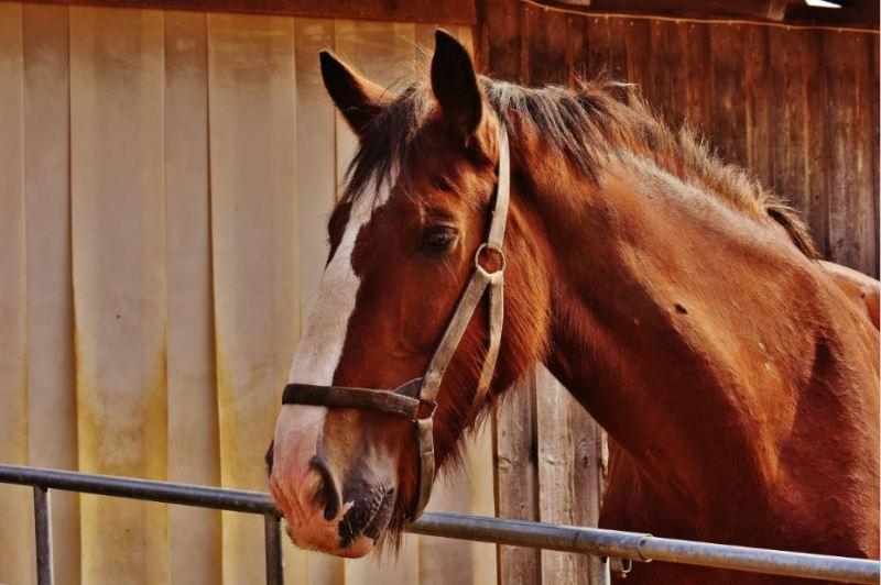 Adenitis equina la enfermedad que causa paperas en los caballos