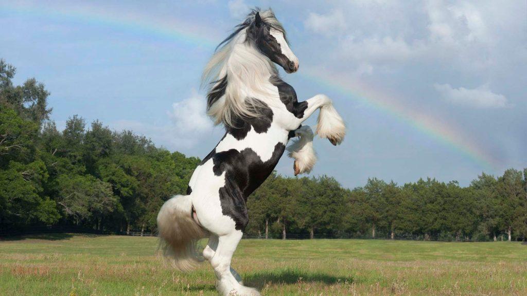 caballo Gipsy Vanner