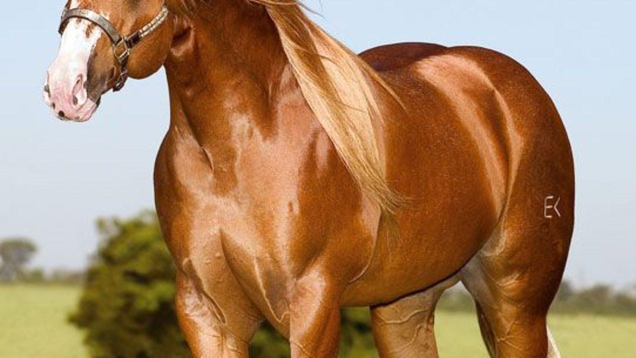 Raza de caballo cuarto de milla - Origen- Historia- Morfología