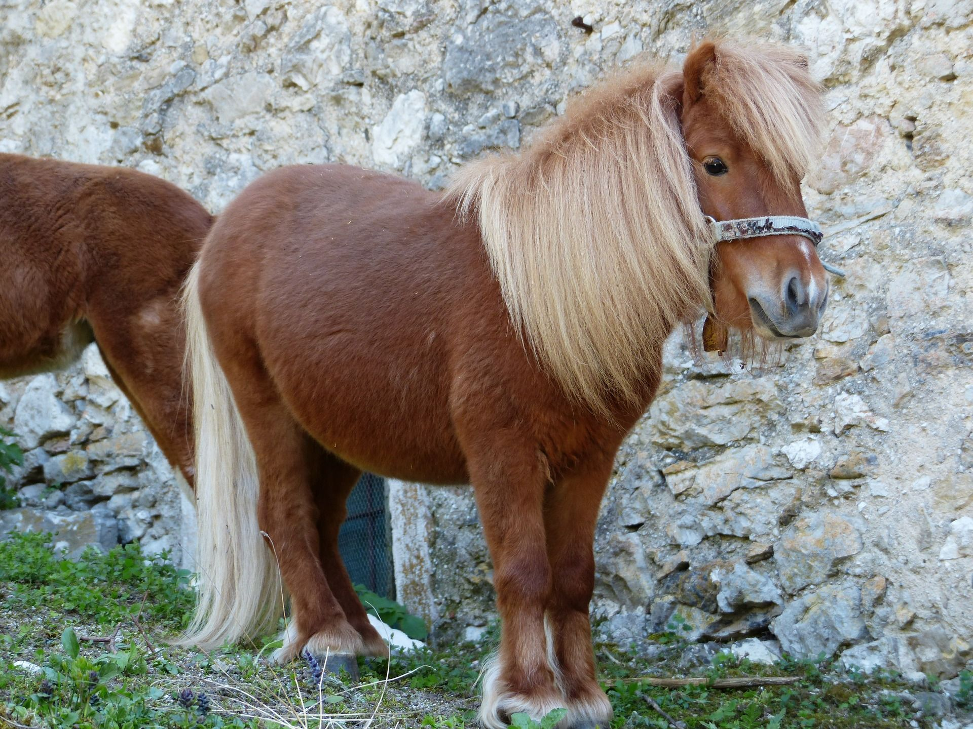 El poni de Shetland