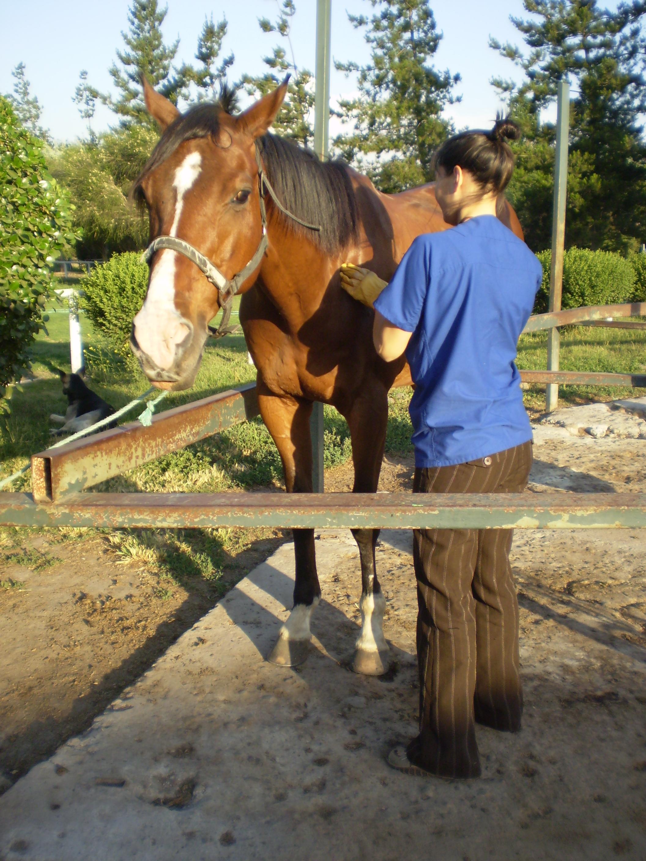 Shiatsu para caballos