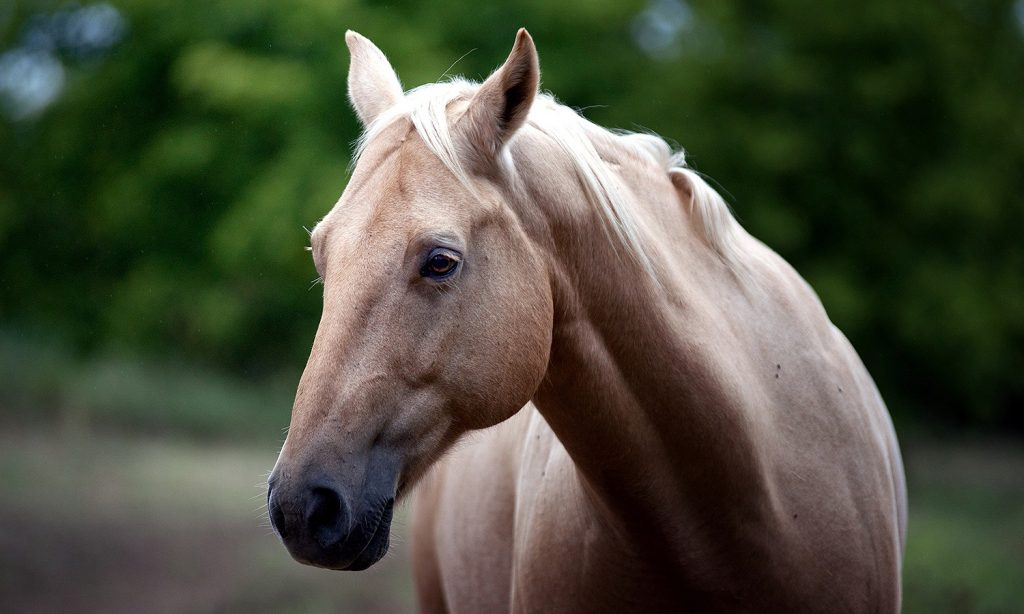 Domesticación del caballo