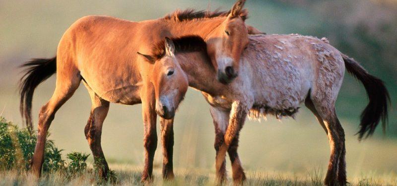 caballos-Przewalski