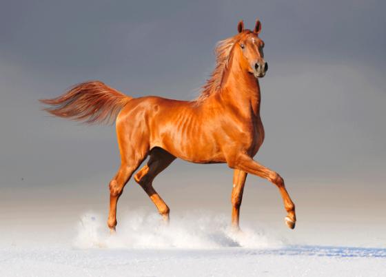 El caballo en la cultura de los árabes