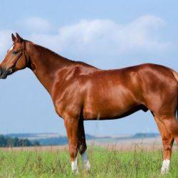 Bursitis en caballos