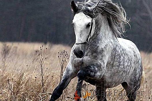 Trotón de Orlov el caballo criado para carreras