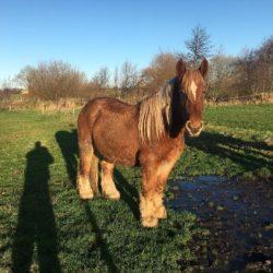 caballo de jutlandia