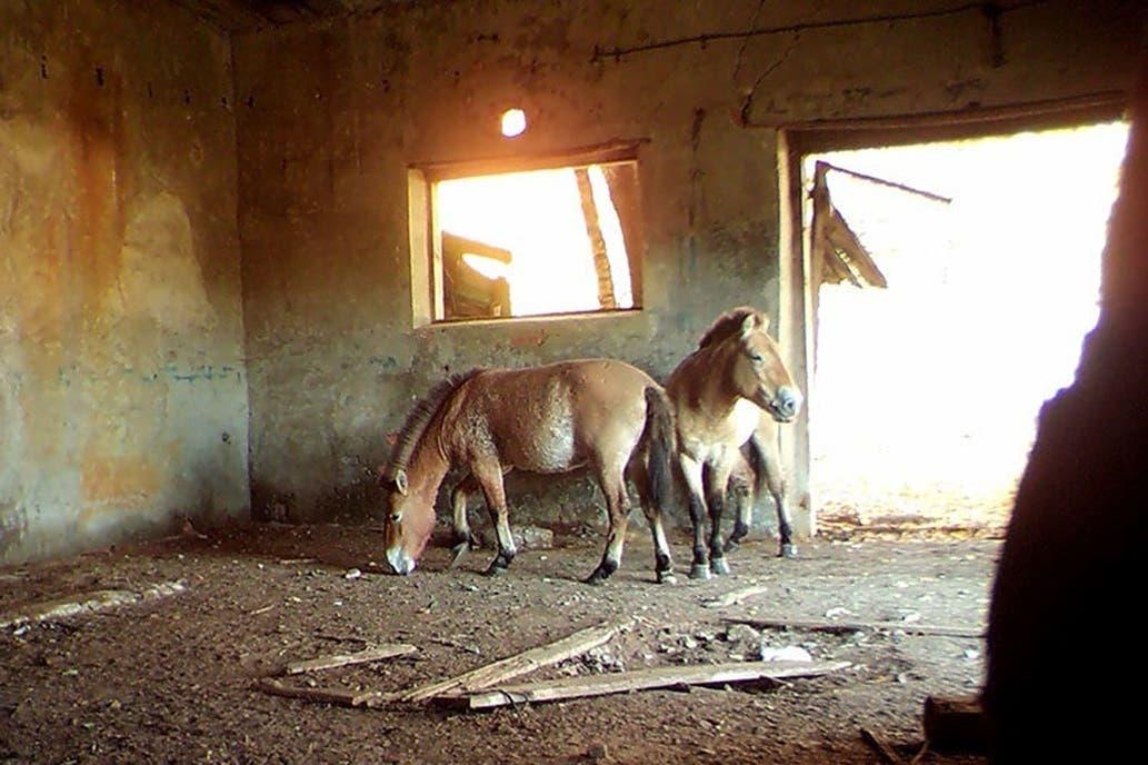 Chernóbil refugio para caballos Przewalski