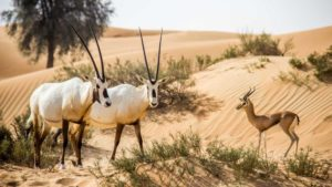 Fauna de Dubái