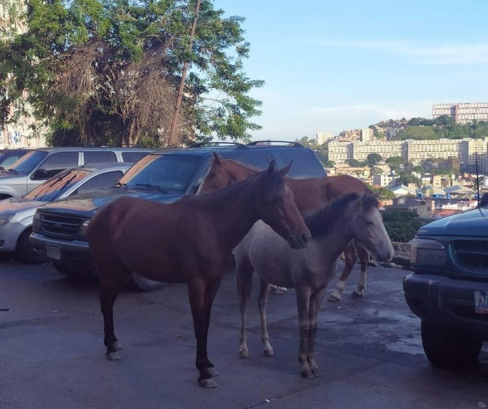 caballos abandonados en Catia