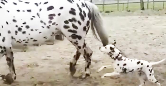 Perro dálmata corre tras caballo manchado