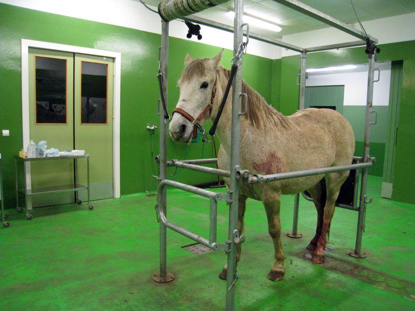 Coronavirus en los caballos