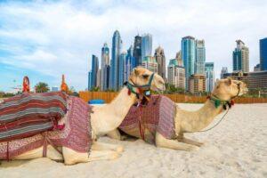 Carreras de camellos en Dubái