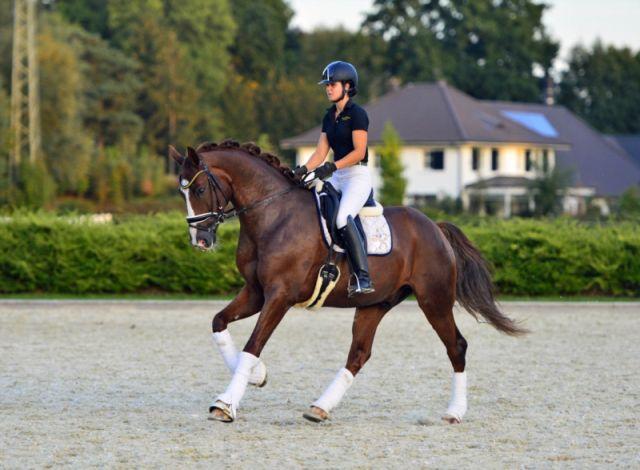 Westfaliano: Una raza de caballo de Alemania
