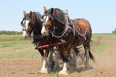 Raza de caballo Clydesdale como caballos de tiro